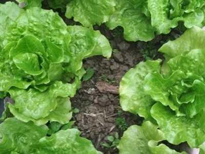 如何清洗生菜 生菜是感光食物吗